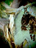 Looking Inside a Fallen Tree. A close up view of the insides of a fallen tree at the Black Bear Wilderness Area in Sanford, Florida royalty free stock photography