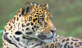 Close-up view of a Jaguar (Panthera onca) Stock Photography