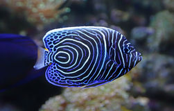 Close-up view of a juvenile Emperor angelfish. Pomacanthus imperator Stock Photos