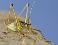 A Close Up View of a Katydid. A Close Up View of a Red and Green Katydid, a Jumping Insect Stock Photography