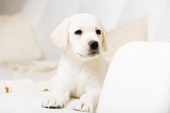 Close up view of Labrador puppy lying on the sofa Royalty Free Stock Images