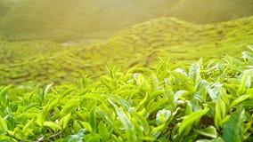 A close up view of Landscape of tea plantation of Cameron Highlands Pahang Malaysia.  Stock Photos