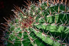 Large round cactus, close up, selective view. stock photography