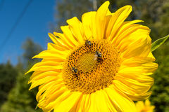 Close up view of large sunflower with honeybees collecting nectar. royalty free stock photos