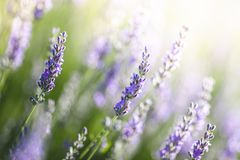 Lavender in Provence, France Stock Photo