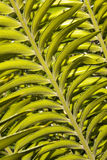 Close Up View Of Leaf On Cycad Plant Royalty Free Stock Photo