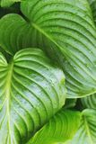 Close up view on leaves of hosta. royalty free stock photography
