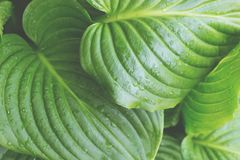 Close up view on leaves of hosta. royalty free stock image