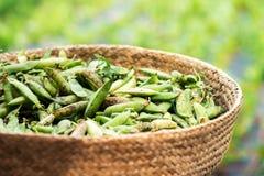 Close up view of legume peas in basket. Basket full of fresh legume peas in close up view Royalty Free Stock Photos