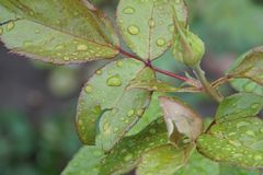 Close-up view of lepeskov and rosebud after rain. Close-up side view of Caucasian lepeskov and bud varieties with water drops roses after rain Stock Photo