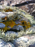 Close up view of lichen on rocks at Isle of Skye. Macro view of lichen on foreshore rocks near Tarskavaig Bay, Isle of Skye, Scotland Royalty Free Stock Photos