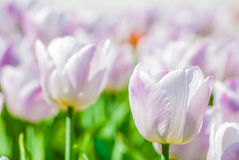 Close-up view of light lilac tulips in spring Royalty Free Stock Photography