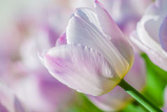 Close-up view of light lilac tulips in spring Royalty Free Stock Photos