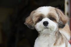 A little cute brown Shih Tzu dog sitting outdoor. Close-up view of a little cute brown Shih Tzu dog sitting outdoor royalty free stock images