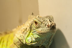 Close-up view of the lizard Stock Images