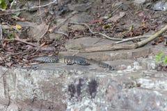 A Lizard royalty free stock photos