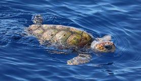 Close-up view of a Loggerhead sea turtle Caretta caretta. Near the coast of island Pico Azores royalty free stock image