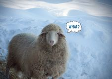 Close up view of a looking sheep in winter day. Looking cool sheep and `What?` message meme stock photos