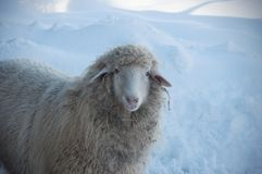 Close up view of a looking sheep in winter sunny day royalty free stock images