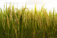 Close-up view of low golden yellow rice. Stock Photography