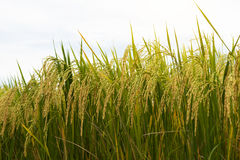 Close-up view of low golden yellow rice. Stock Image