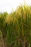 Close-up view of low golden yellow rice. Stock Photo