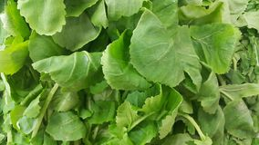 Close up view of lush green leaves of spinach vegetables. Vegetable background royalty free stock photo
