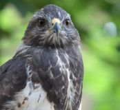 Close-up view of a majestic common buzzard. (Buteo buteo Stock Photography
