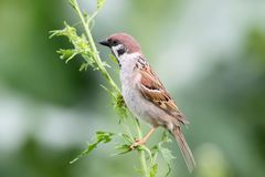 Close up view on male house sparrow with yellow flowers. On blurry background Royalty Free Stock Image