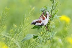 Close up view on male house sparrow with yellow flowers. On blurry background Royalty Free Stock Photo
