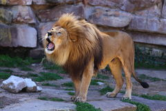 Lion Roaring. A close up view of a male lion, Panthera leo, roaring Stock Images