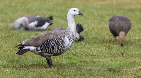 Close-up view of a male Magellan Goose Stock Photo