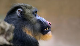 Close-up view of a male Mandrill Stock Photos