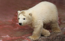 Close-up view of a male polar bear baby. (Ursus maritimus stock photography