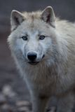 Close up view of a male wolf. (Canis lupus Royalty Free Stock Image