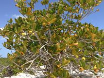 Close up view of Manchineel tree