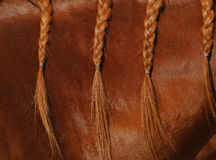 A close up view of the mane of a sorrel horse in braids. A close up view of a mane on a sorrel colored horse in braids showing the details of the fur Royalty Free Stock Photo