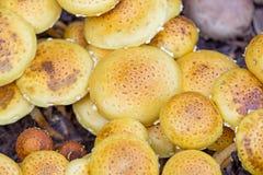 Close-up view of many Nameko mushrooms (Pholiota nameko). Stock Photo