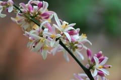 Meyer Lemon Tree Blossoms. Close up view of meyer lemon tree flowers blossoming Royalty Free Stock Photo
