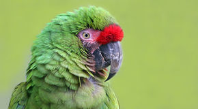 Close-up view of an Military Macaw Stock Photography