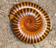 Close up view of a millipede Royalty Free Stock Images