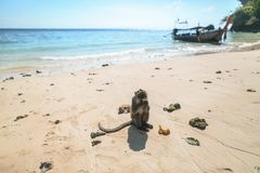 Close up view of monkey eating banana on beach, Phi phi. Islands, Thailand royalty free stock image