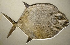 close up view of a moonfish fossil stock photos