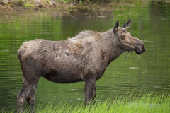 Close up view of a moose in a lake Stock Photography