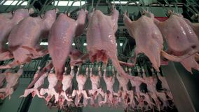 Many chickens without heads travel along several shackle lines. Close-up view of moving headless chickens with other identical lines in the background stock video footage