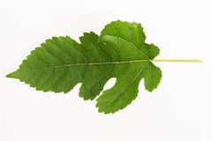 Close-up view of Mulberry leaf Royalty Free Stock Images