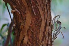 Peeling tree bark during Autumn season royalty free stock image