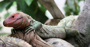 Close-up view of a Northern Caiman Lizard Stock Photo