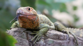 Close-up view of a Northern Caiman Lizard Stock Photography