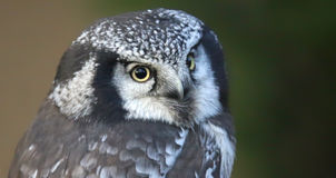 Close-up view of a Northern hawk-owl stock image
